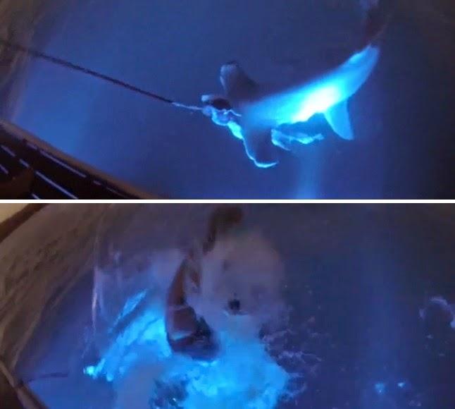 Aaron Moir rides a hammerhead shark in Western Australia