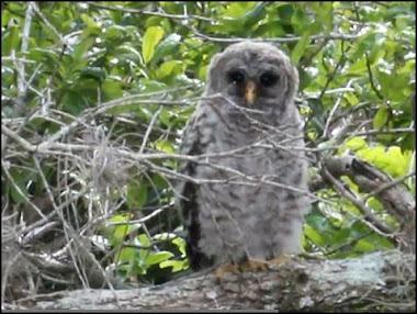 2012 Clutch Owlet