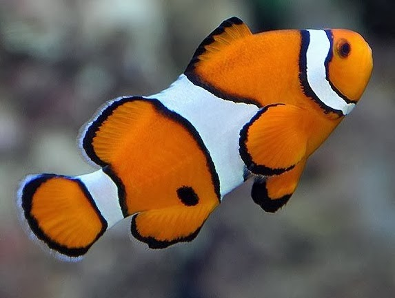 Clownfish - Fishes World - HD Images & Free Photos