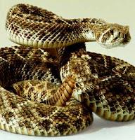 serpiente de cascabel en posicion de ataque
