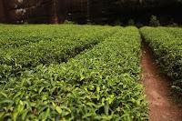 Cara Mudah Menghilangkan Komedo dengan Tea Tree Oil