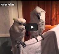 Kakadu tanz zu Elvis ab