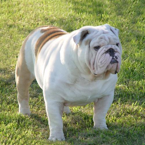 English bulldog puppy - 2