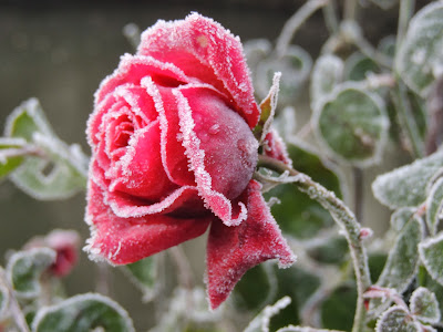 image rose glacée