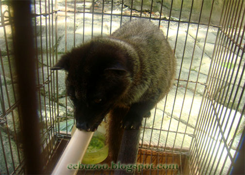 Cebu Zoo Civet
