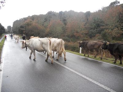 bovini strada transumanza bolotana 30 dicembre 2011