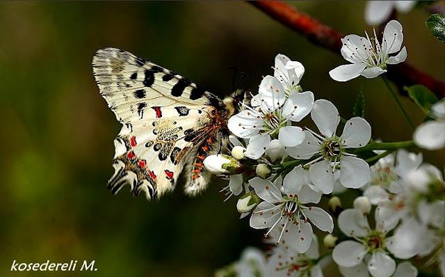 orman fisto kelebeği erkek birey kanat altı fotoğrafı