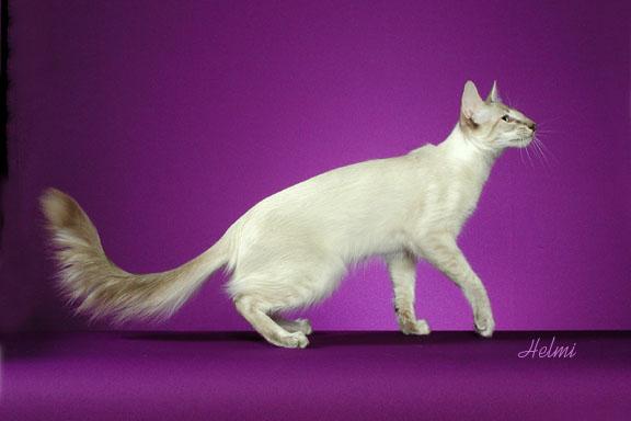 javanese-cat-6.jpg