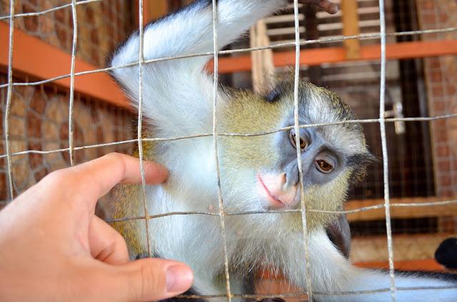 acariciciando um macaco