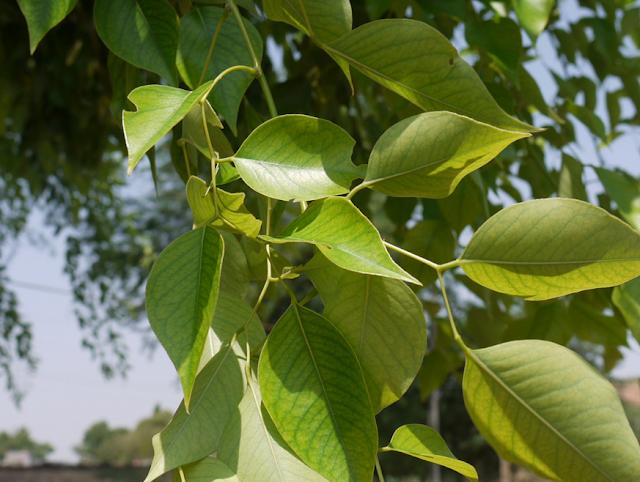 स्वास्थ्य और सेहतमंद रहने के लिए हरी पत्तियाँ