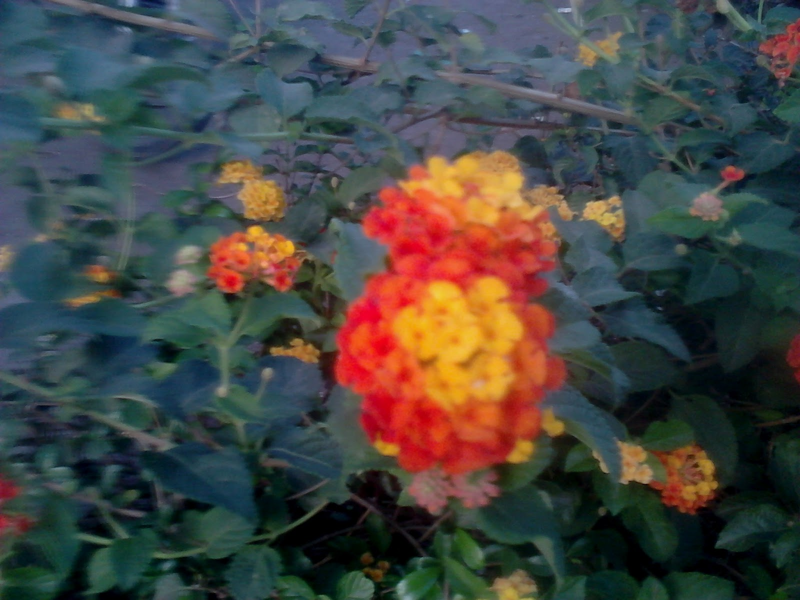 Garden Care Simplified The Colourful Fragrant Lantana Flower Plants