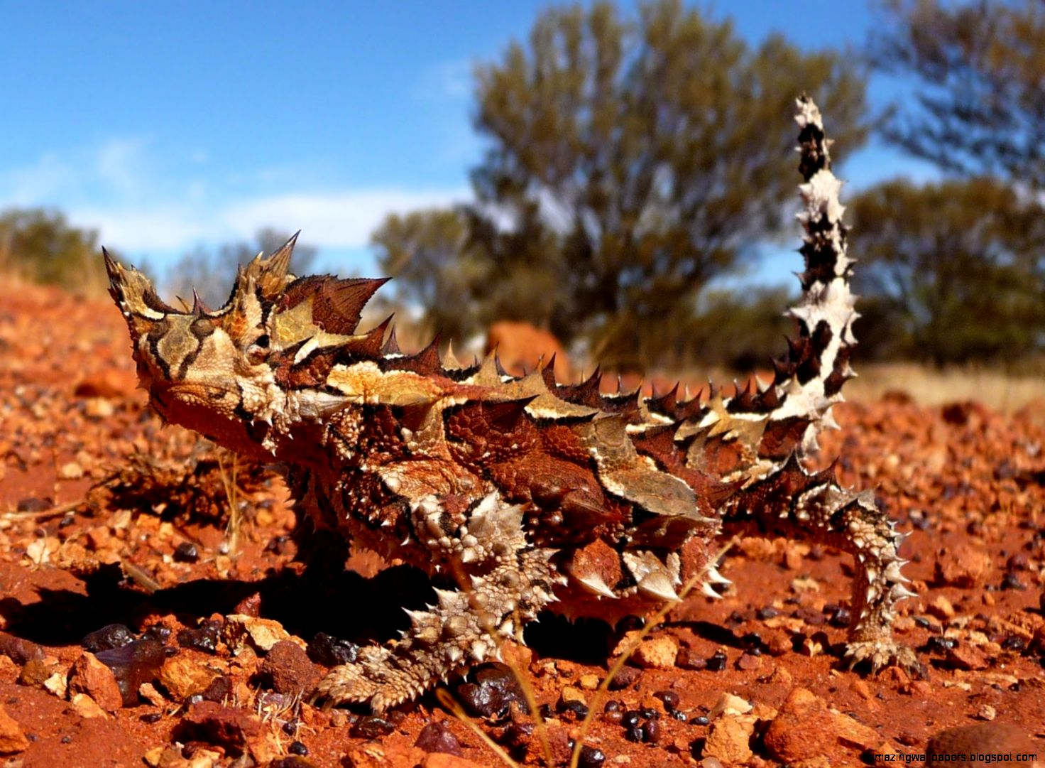 The Biomimicry Manual What Can a Thorny Devil Teach Us About