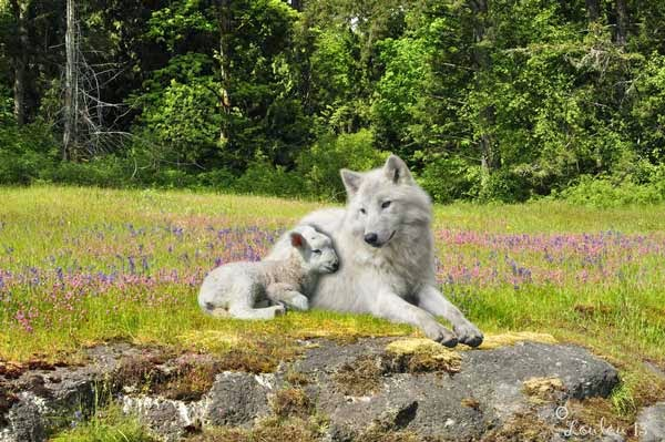 The Wolf Will Reside With The Lamb