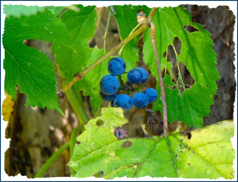 wild ripe grapes - blue grapes ready for harvest - photo