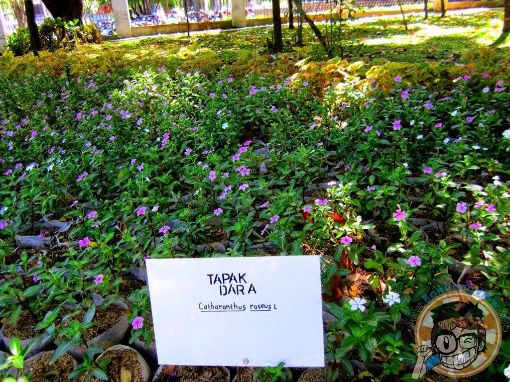 Tapak dara - Taman pustaka bunga kandaga puspa