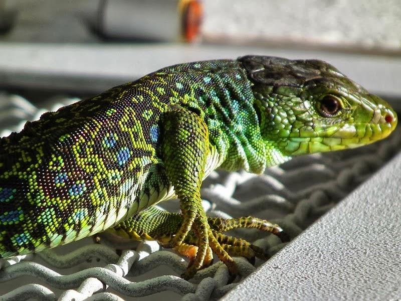 Sardão - O visitante Colorido