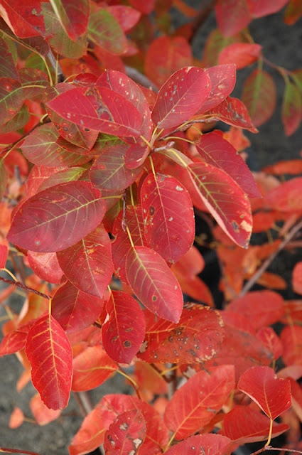 Autumn Brilliance Serviceberry8