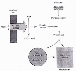 Mekanisme kerja hormon adrenokortikotropik (ACTH) yaitu satu hormon protein. ACTH mengaktivasi adenilat siklase, meningkatkan sintesis 3',5'-c AMp. Sebaliknya cAMP merangsang protein kinase, yang mengaktivasi pemutarbalikan protein dengan cepat. protein ini mempercepat pelepasan kolesterol yang digunakan dalam biosintesis dan stimulasi steroid pada konversi kolesterol menjadi pregnenolon dalam mitokondria sel. AIE adenosin trifosfat.