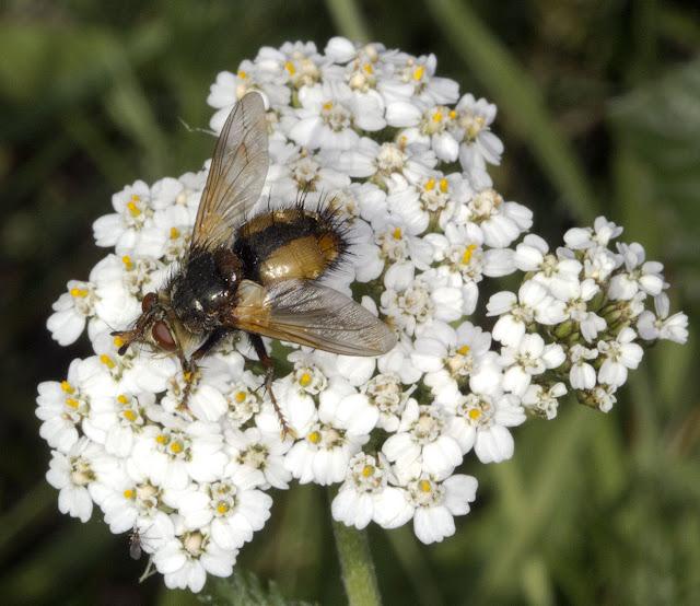 Fly, Tachina fera, on Yarrow, Achillea millefolia. Hayes Common, 19 August 2011.