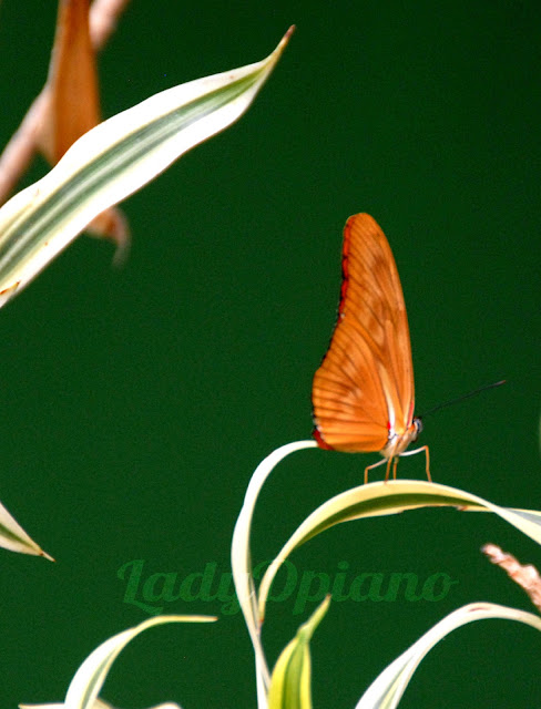 orange butterfly resting on spider plant