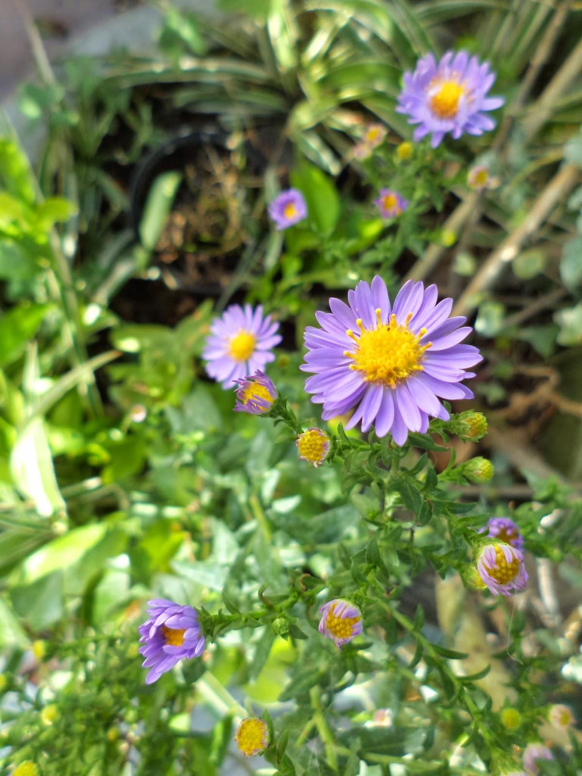 Il calesse aster o settembrini - Settembrini fiori ...
