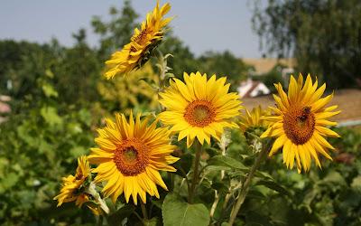 Beautiful Sunflower Widescreen Wallpaper 8