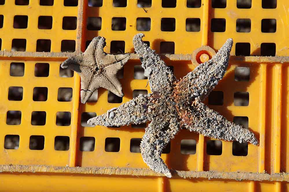 two dried up starfish