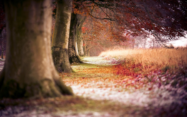 Beech Autumn Trees HD & Widescreen Nature & Landscape Wallpaper