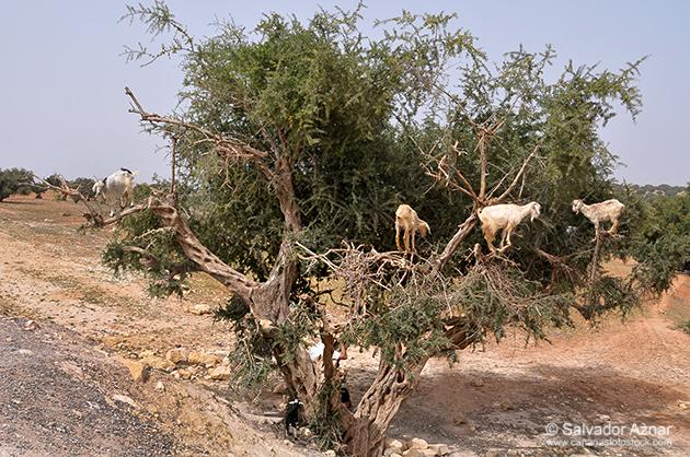 http://www.diariosdeunfotografodeviajes.com/2014/09/el-argan-y-las-cabras-trepadoras.html
