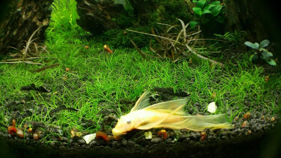 cận cảnh cá pleco trong bể thủy sinh