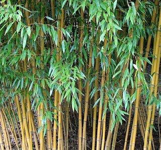 bambu kuning Tanaman Penolak Santet