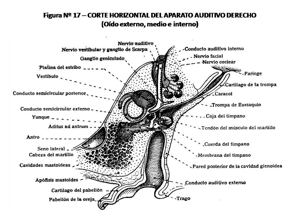ATLAS DE ANATOMÍA HUMANA: 17. CORTE HORIZONTAL DEL APARATO AUDITIVO ...