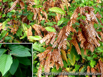 Serengan (Flemingia strobilifera)