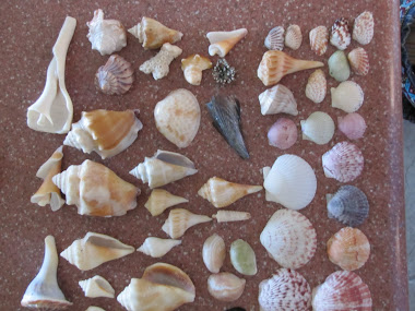 Seashells We Found on Sanibel Island, Florida