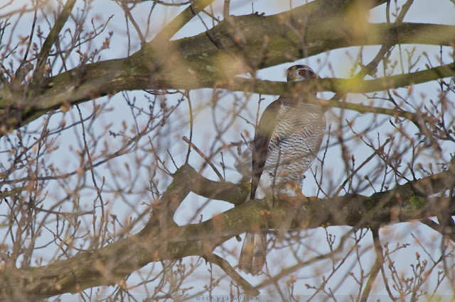 Havik - Northern Goshawk - Accipiter gentilis