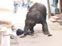Wild elephants on rampage in Mysore city, one killed
