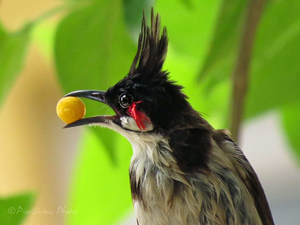 Adult Bulbul with Food