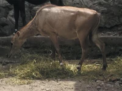 foto nilgai antelope 01