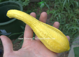 how to grow great summer squash