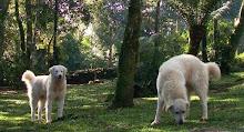 kuvasz - Reservas abertas para próxima ninhada