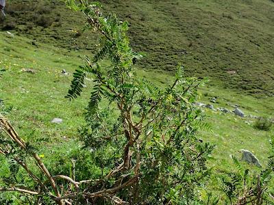 Astragalus lusitanicus, Pasture Below Laguna de Humantay