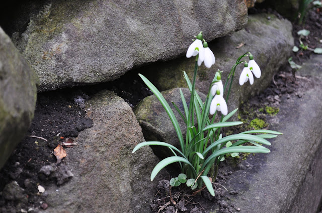Snowdrops at stone wall in York