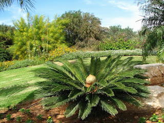 Sago palm or Cycas revoluta, it is a local plant in Japan