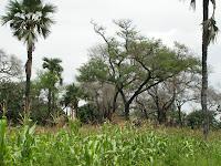 http://3.bp.blogspot.com/-n50Vo1GwFe0/TfSjKt0LZ6I/AAAAAAAABpw/Xu8XMURvh3E/s1600/800px-Faidherbia_albida+Agroforestry.JPG