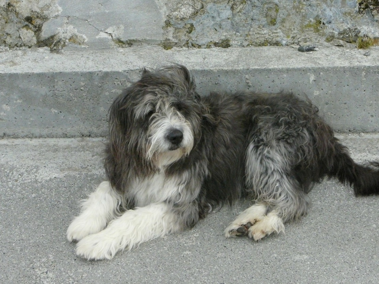 Bearded collie mix