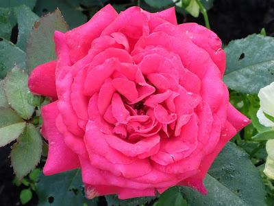 фотографии розы
