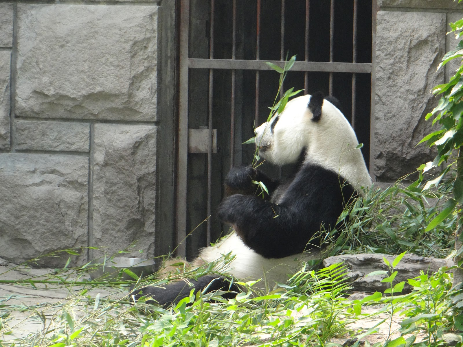 an analysis of giant pandas Delayed implantation is believed to occur in giant pandas based on hormone  analyses (hodges et al 1984, chaudhuri et al 1988) and the observed.