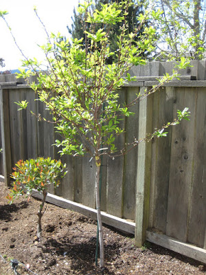 Costco plum tree planted in the backyard