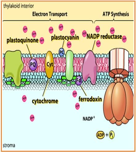 Reaksi Gelap - Terang Fotosintesis | PAS Collage Privat Course ...