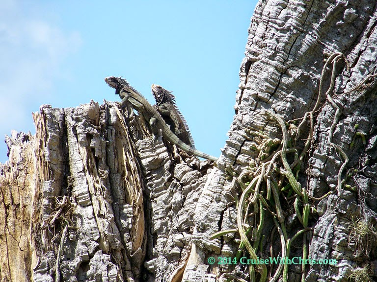 Two iguanas atop a tree at Bluebeard's Castle  - St. Thomas